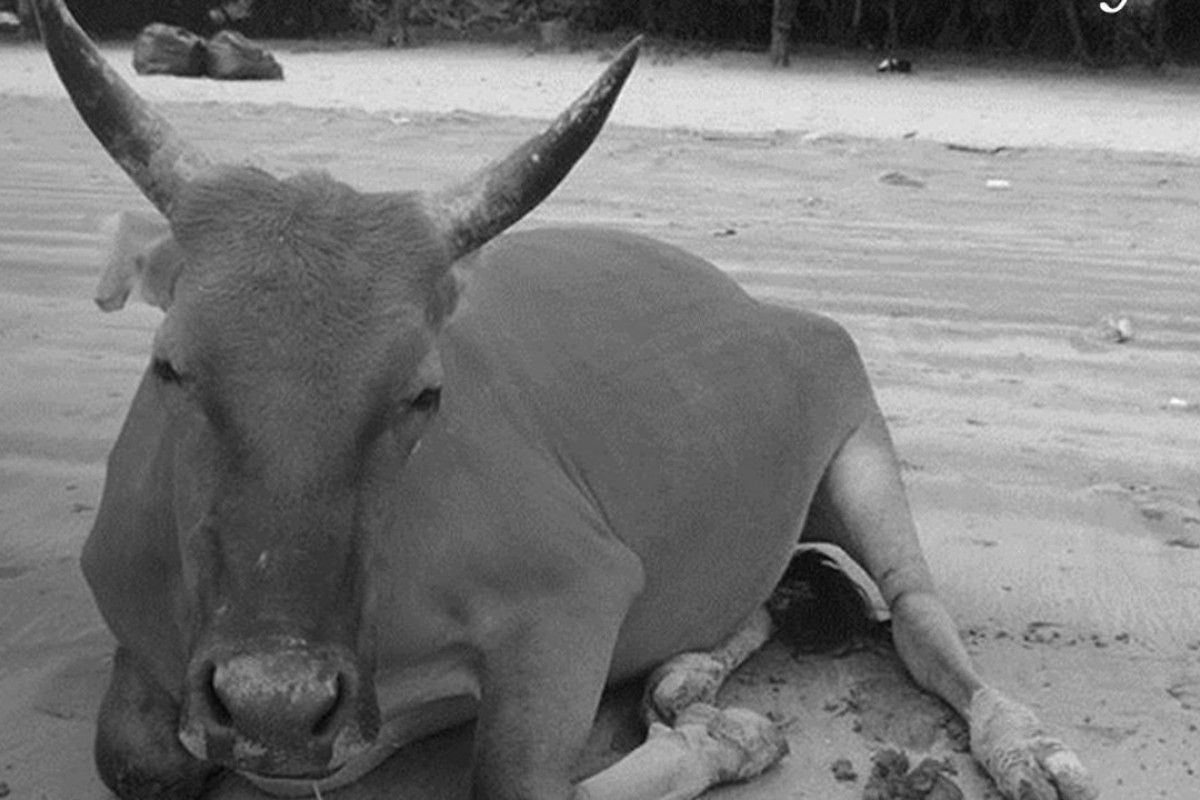 A photograph of Billy the Pui O cow used to accompany the announcement of his death. Photo: Facebook/AFCD