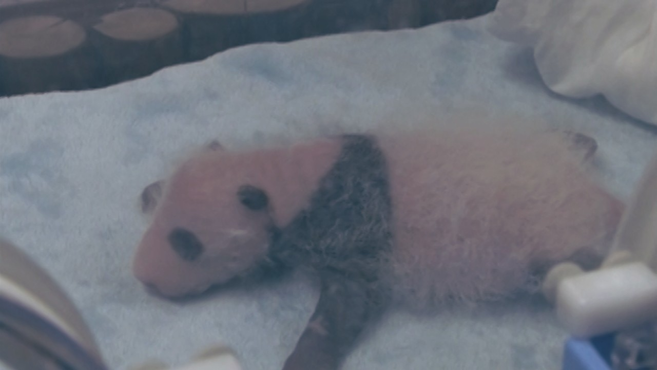 Giant panda twins arrive in twos