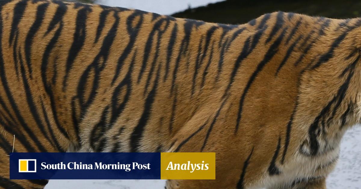 92331f162b45e London zookeepers in shock after rare Sumatran tiger Asim kills his  prospective mate Melati at first meeting   South China Morning Post