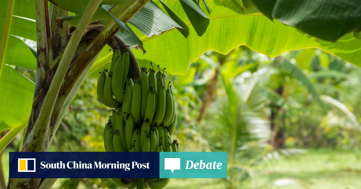 Yes, we'll have no bananas: scientists race to save the