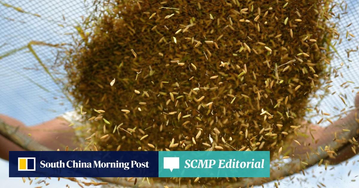 Grain waves: three types of rice popular in Hong Kong | South China