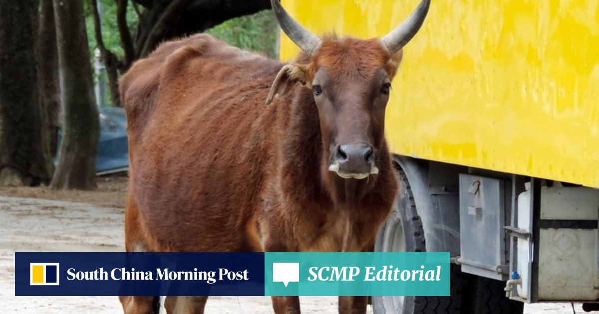 Beloved Hong Kong bull Billy found dead with stomach full of plastic
