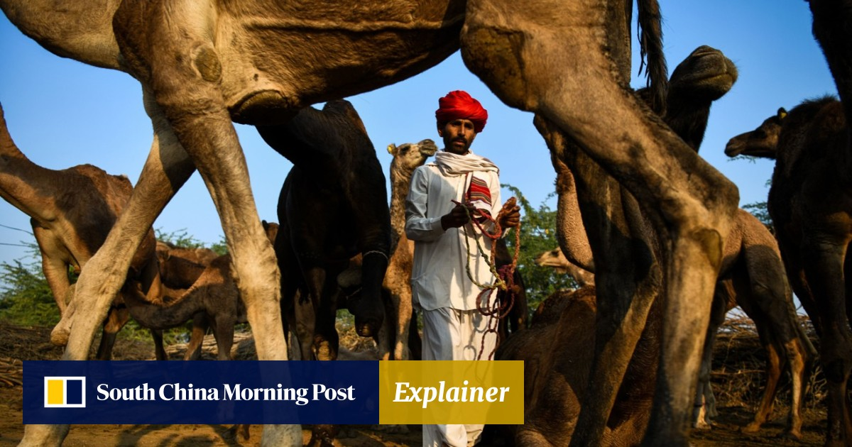 India's camels are disappearing from farms but their milk is being