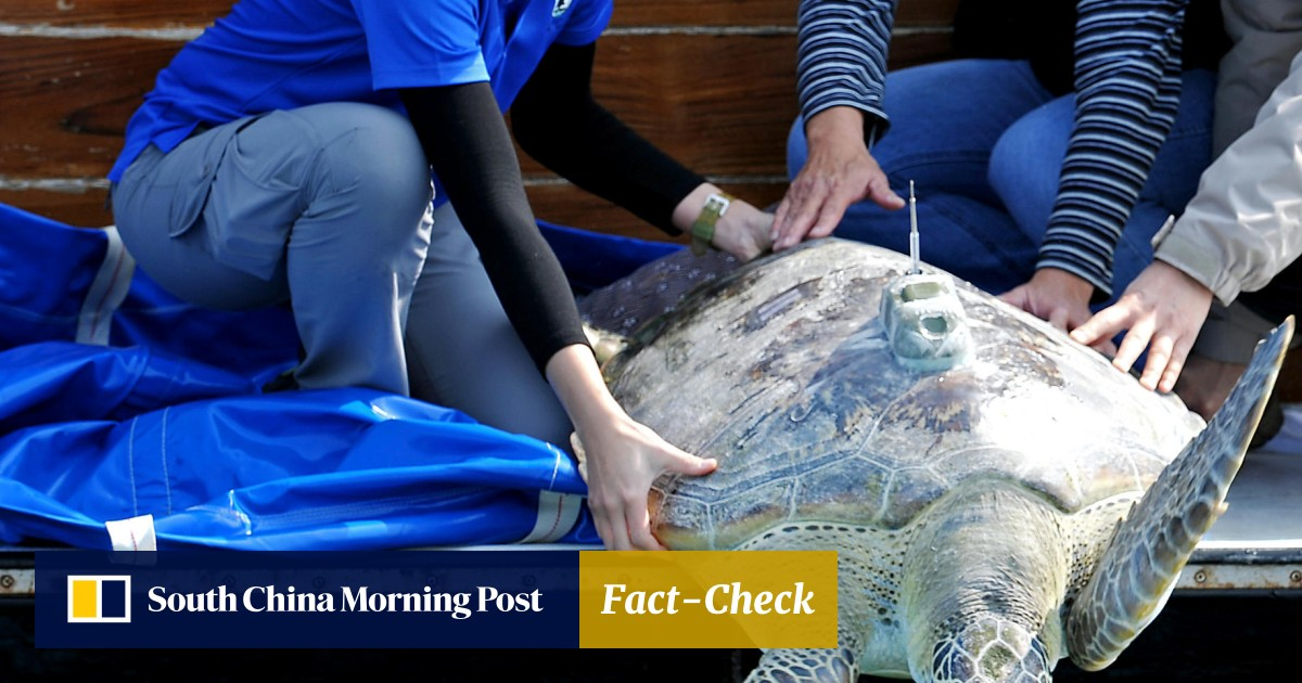 29e4b489 Endangered green turtle caught in Tai Po returned to sea | South China  Morning Post