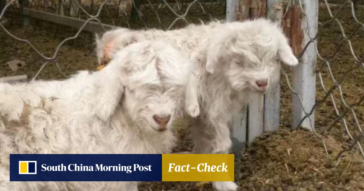 The kids are alright: world's first cloned cashmere goat fathers 16