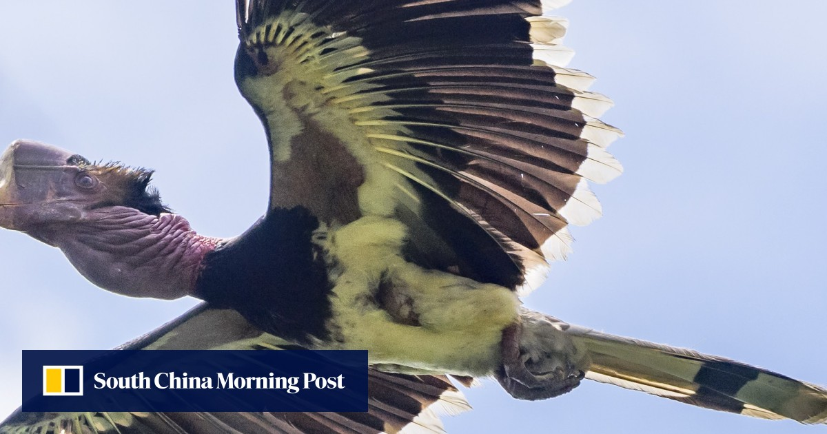Why Chinese demand for 'red ivory' dooms helmeted hornbill bird to
