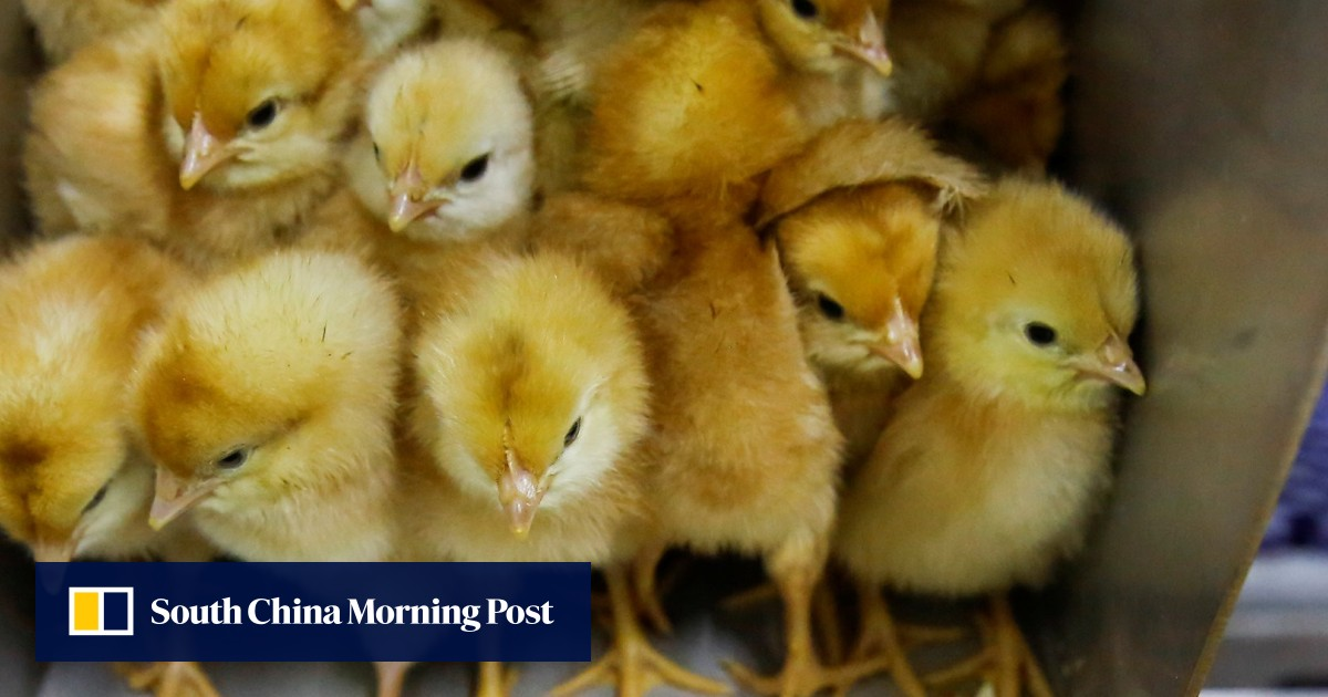 Chicken firms hatch hi-tech plan to crack China's mature egg