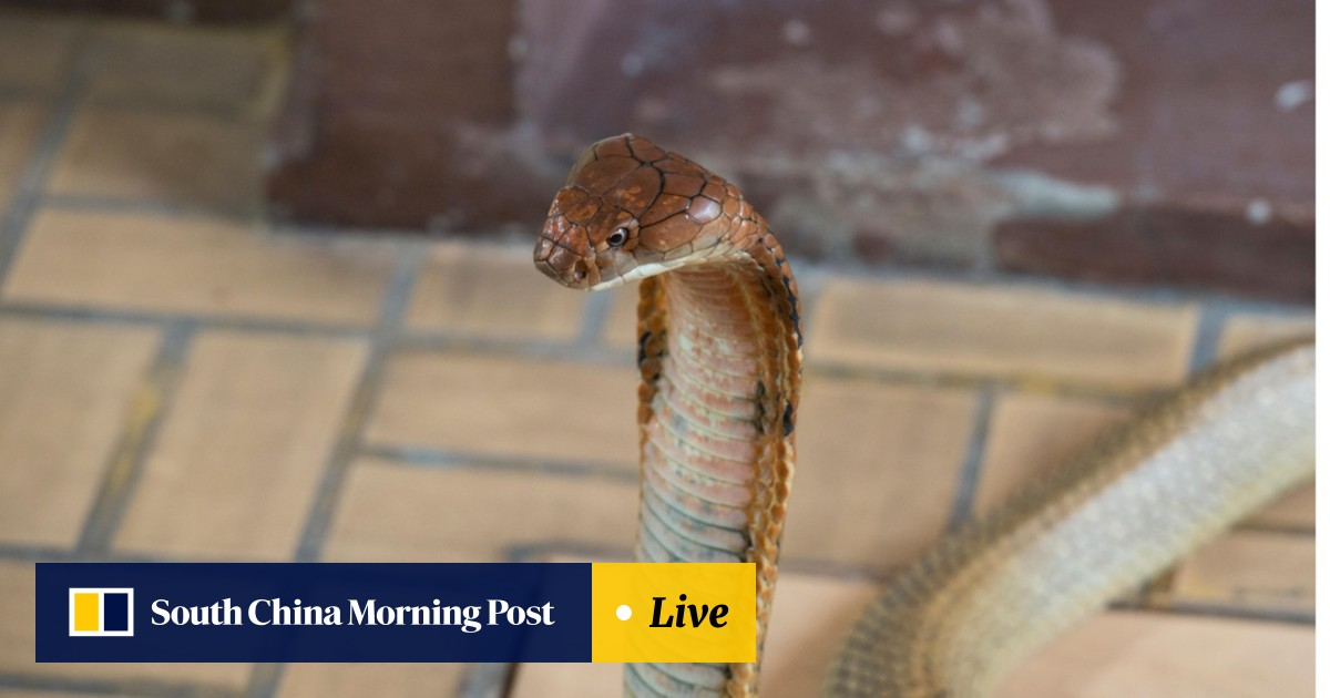 King cobras in Thailand: why some villagers worship the