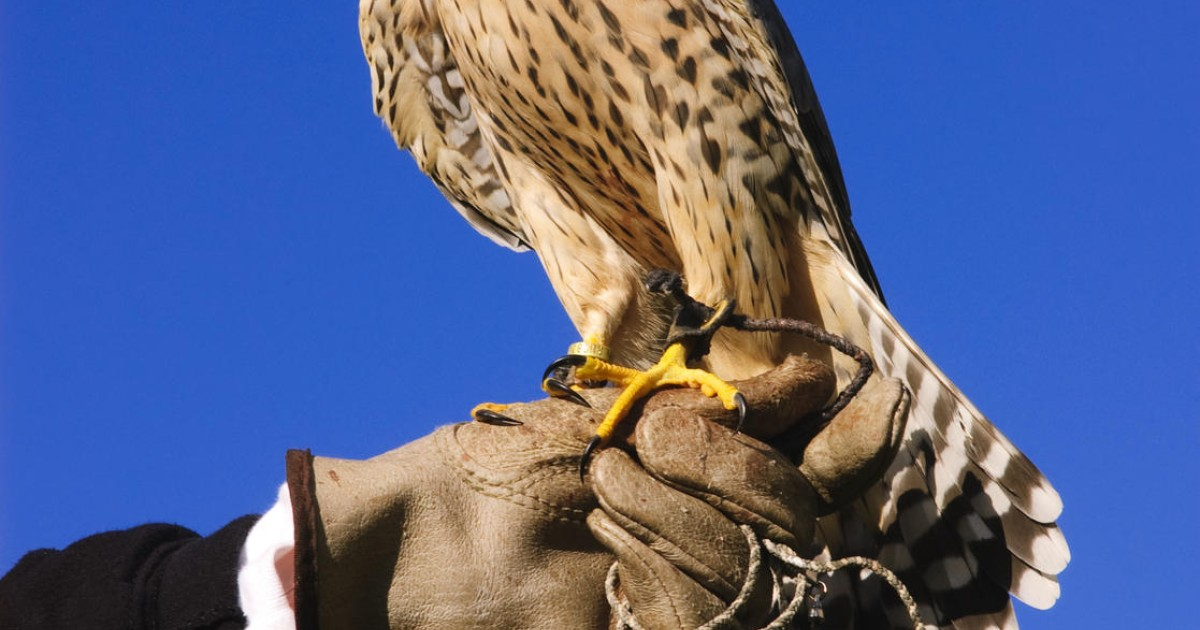 45f8d6e7e7 How birds of prey keep the pests away | South China Morning Post