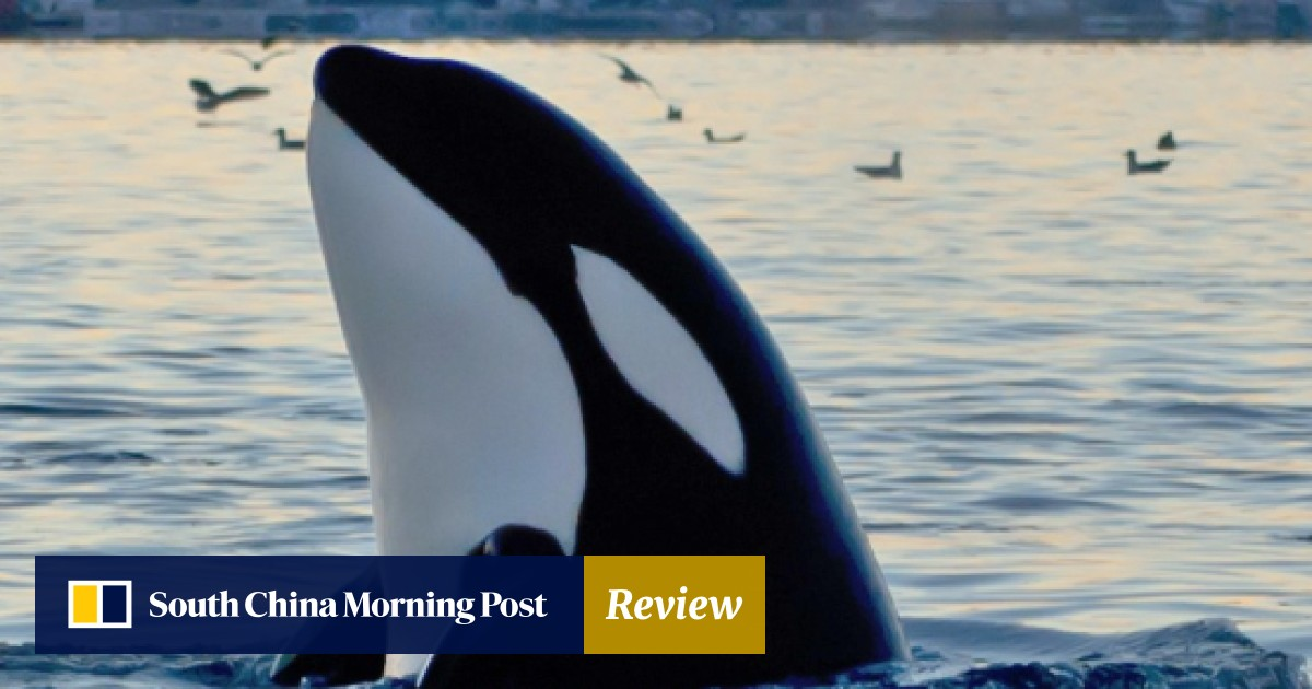 A first-hand account of swimming with orcas in Norway
