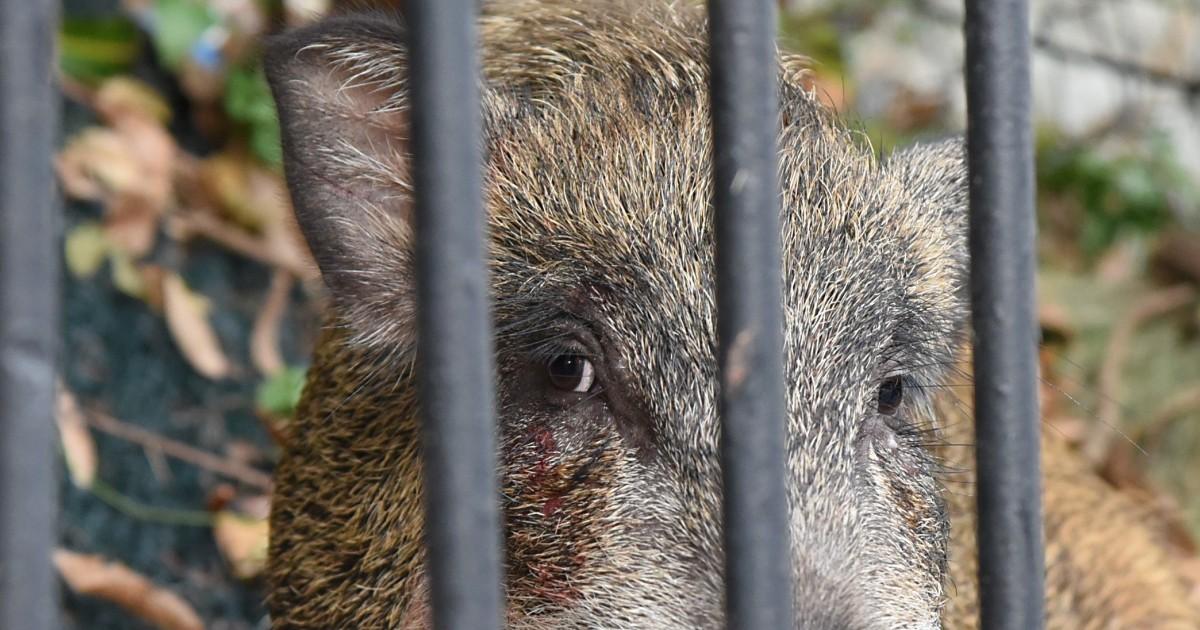 Don't feed the animals: councillor says Hong Kong's wild pig