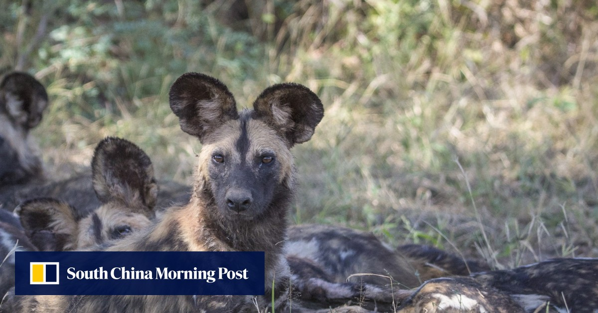 Why this Zambia game park is different: African wild dog