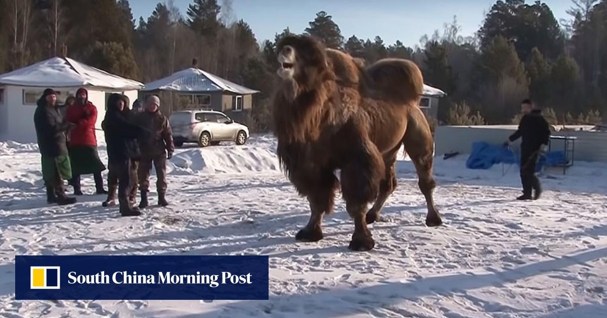 Camel-burning ritual condemned as 'sadism', but Siberian shaman says