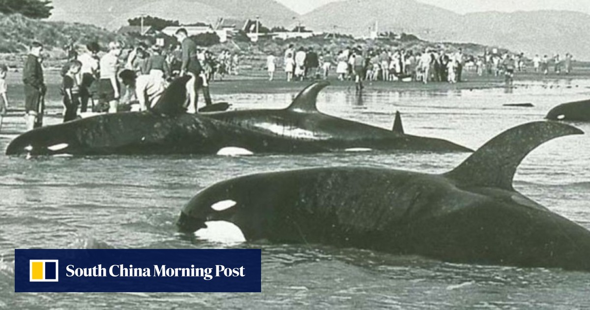 7cab24b9c2 This weird-looking killer whale is a new species, experts say. Can ...