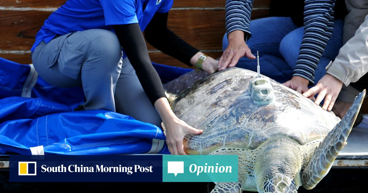 4f9800c0d Endangered green turtle caught in Tai Po returned to sea | South China  Morning Post