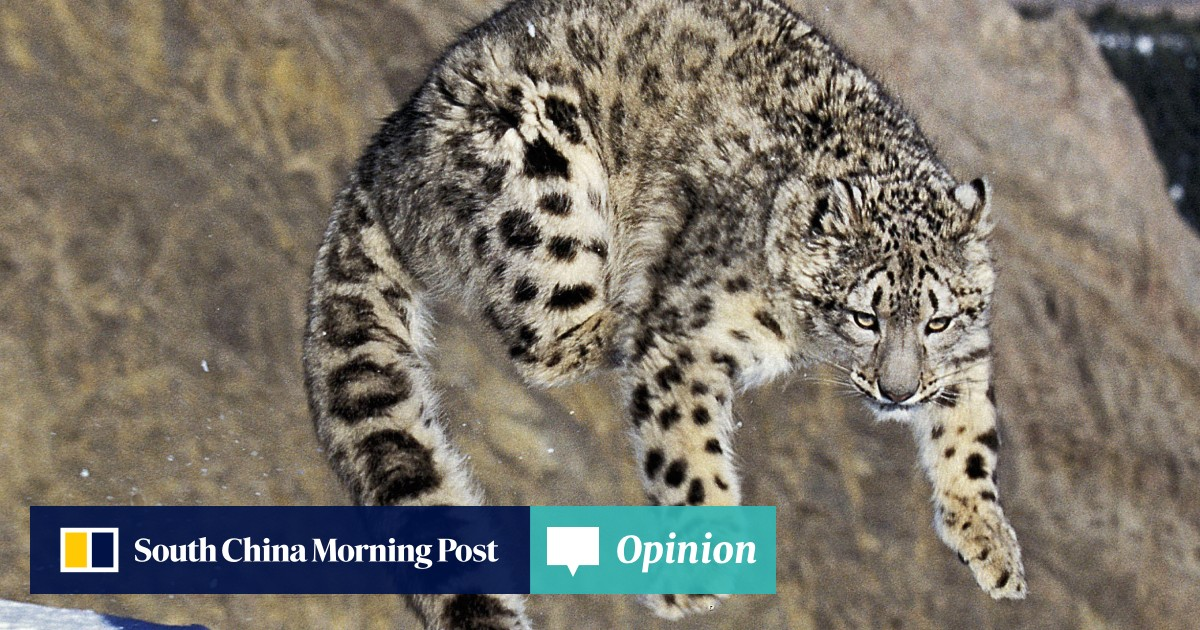 Snow leopard census: now it is off endangered species list