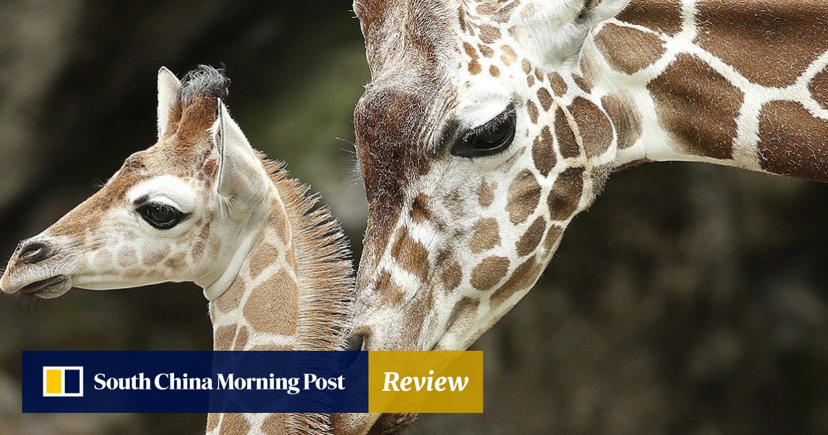 From pillows to Bible covers, nearly 40,000 giraffe parts have been