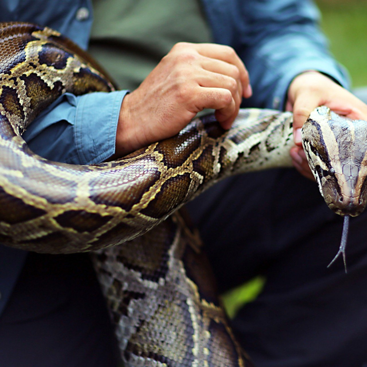 Homing trick of the Burmese python surprises scientists
