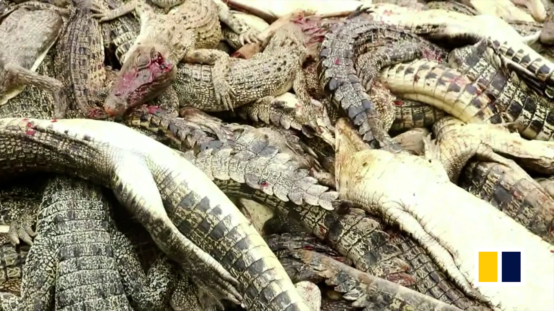 208a12542256 Indonesian machete mob slaughters nearly 300 crocodiles in revenge for  man s death